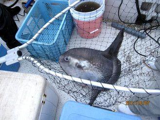 まんぼう 鮭